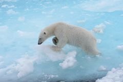 Free Wild Polar Bear Going In Water On Pack Ice Stock Images - 132162174