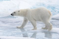 Free Wild Polar Bear Going In Water On Pack Ice Royalty Free Stock Photography - 132162807