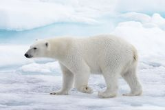 Wild polar bear going in water on pack ice in Arctic sea stock photo