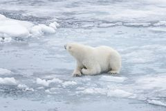 Wild polar bear laying on pack ice. Polar bear Ursus maritimus on the pack ice north of Spitsbergen Island, Svalbard, Norway, Scandinavia, Europe royalty free stock image