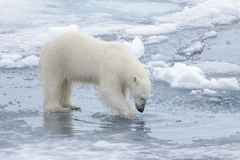 Wild polar bear looking to his reflection in water. On pack ice in Arctic sea stock image