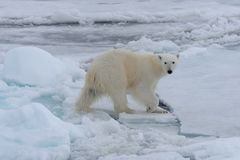 Wild polar bear on pack ice in Arctic sea royalty free stock photography