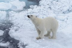 Wild polar bear on pack ice in Arctic sea royalty free stock images