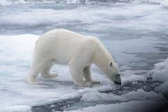Wild polar bear on pack ice in Arctic sea stock photography