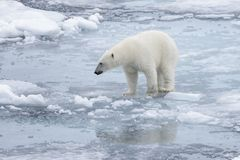Wild polar bear on pack ice in Arctic sea royalty free stock photos