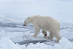 Wild polar bear on pack ice in Arctic sea close up stock photo