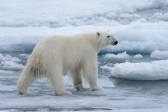Wild polar bear on pack ice in Arctic sea close up royalty free stock images
