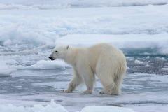Wild polar bear on pack ice in Arctic sea close up. Polar bear Ursus maritimus on the pack ice north of Spitsbergen Island, Svalbard, Norway, Scandinavia royalty free stock image