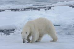 Wild polar bear on pack ice in Arctic sea close up. Polar bear Ursus maritimus on the pack ice north of Spitsbergen Island, Svalbard, Norway, Scandinavia stock photography