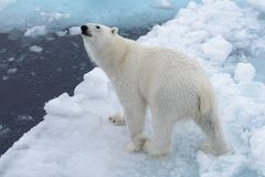 Wild polar bear on pack ice in Arctic sea from top. Aerial view stock images