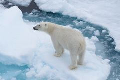 Wild polar bear on pack ice in Arctic sea from top. Aerial view stock photography