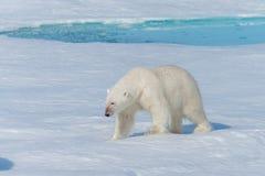 Wild polar bear Ursus maritimus going on the pack ice north of Spitsbergen Island. Svalbard royalty free stock images