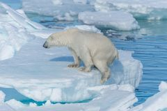 Wild polar bear Ursus maritimus going on the pack ice north of Svalbard. Wild polar bear Ursus maritimus going on the pack ice north of Spitsbergen Island stock photography