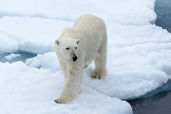 Polar bear on the pack ice north of Spitsbergen Island. Wild polar bear Ursus maritimus going on the pack ice north of Spitsbergen Island, Svalbard stock images