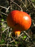 Wild pomegranate. Food fruit wild pomegrante life Stock Photo