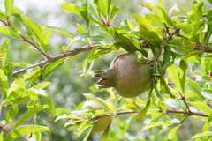Wild pomegranate Stock Image