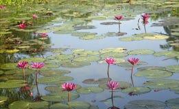 Wild pond with lotuses. Stock Image