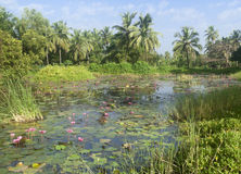 Wild pond with lotuses Stock Images
