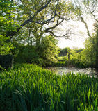 Wild Pond With Water Irises Under Trees in Afternoon Sun Stock Photos