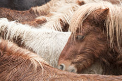 Wild poney. Brown wild pony portrait having a rest with his brothers Stock Photography