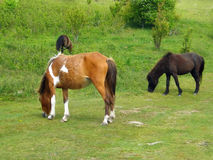 Wild Ponies – Grayson Highlands State Park. Wild ponies grazing on grass located in Grayson Highlands State Park, southwest Virginia, USA Stock Photos
