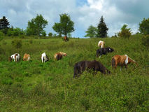 Wild Ponies – Grayson Highlands State Park. Wild ponies grazing on grass located in Grayson Highlands State Park, southwest Virginia, USA Stock Photo