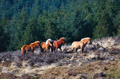 Wild Ponies Stock Photography