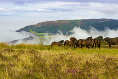 Wild Ponies. Wild Exmoor Ponies on a hill side Royalty Free Stock Photos