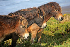 Wild ponies. Above Woolacombe beach Stock Photo