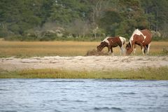 Wild ponies. Two wild ponies from the Virginia herd at Assateague National Park grazing near the water edge Stock Photos