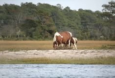 Wild ponies Royalty Free Stock Photo