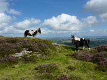 Wild ponies on the Black Mountain in Wales. Welsh mountain ponies on the top of the Black Mountain in the Brecon Beacons National Park, Wales, UK Stock Photography