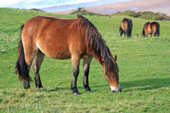 Wild ponies Royalty Free Stock Photos