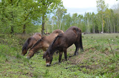 Wild ponies drink from a heathland stream. Stock Photography