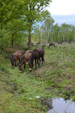 Wild ponies drink from a heathland stream. Stock Image