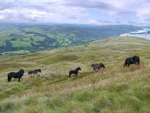 Wild ponies on fell side, Lake District Royalty Free Stock Photo