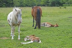 The wild Ponies of Grayson Highlands stand guard over their sleeping babies. Grayson Highlands State Park wild ponies Stock Photos