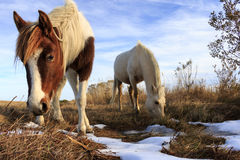 Wild Ponies. Grazing at Chincoteague National Wildlife Refuge Royalty Free Stock Photos