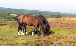 Wild ponies and heather Quantock Hills Somerset Royalty Free Stock Photos