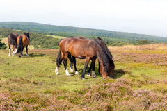 Wild ponies and heather Quantock Hills Somerset Stock Images