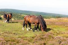 Wild ponies and heather Quantock Hills Somerset Stock Images