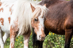 Wild ponies Royalty Free Stock Images