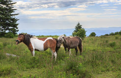 Wild Ponies Mare Stallion Grayson Highlands VA Stock Images