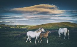 Wild Ponies on Mountain Meadow royalty free stock photos