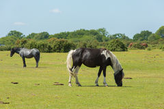 Wild ponies New Forest Hampshire England UK Royalty Free Stock Photo