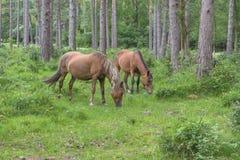 Wild ponies Stock Image