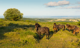 Wild ponies Quantock Hills Somerset England UK countryside views on a summer evening. Wild Exmoor ponies Quantock Hills Somerset England UK countryside views on stock photos