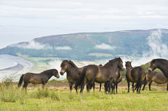 Wild ponies on top of Porlock Hill Royalty Free Stock Photo