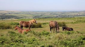 Wild ponies and welsh countryside The Gower peninsula South Wales UK on Cefn Bryn hill stock video footage