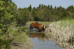 Wild Ponies2. Wild ponies drinking at a  water hole Stock Image